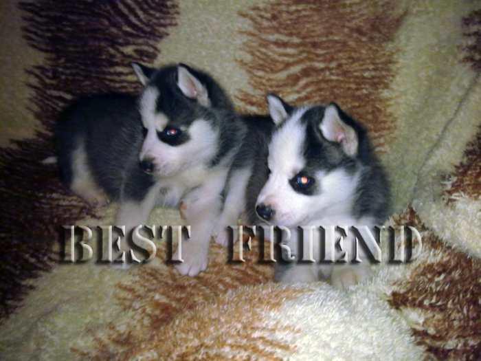 """""""BEST FRIEND"""" selling huskies puppies"""