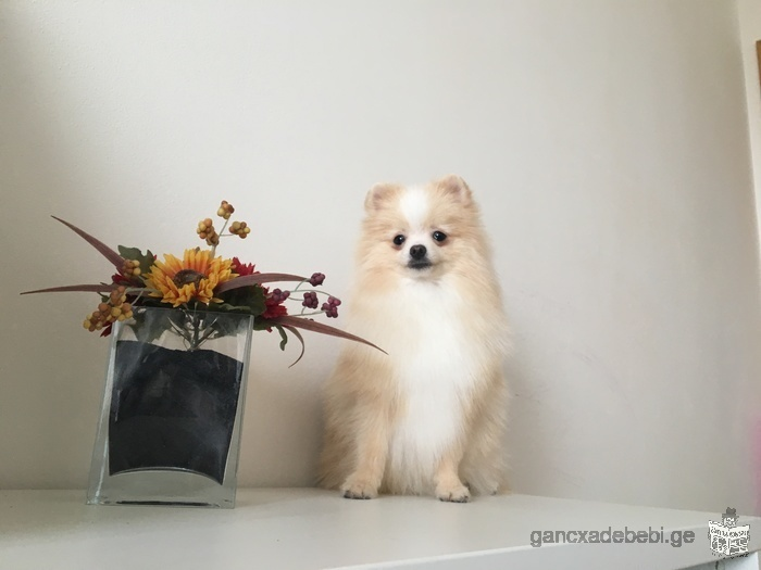 A beautiful Pomeranian puppy LOOKS FOR A NEW FAMILY!