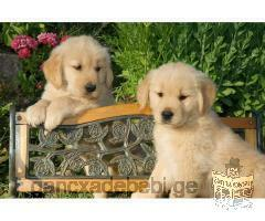 Beautiful Golden Retriever Puppies Ready For A Good Home For X-mass.