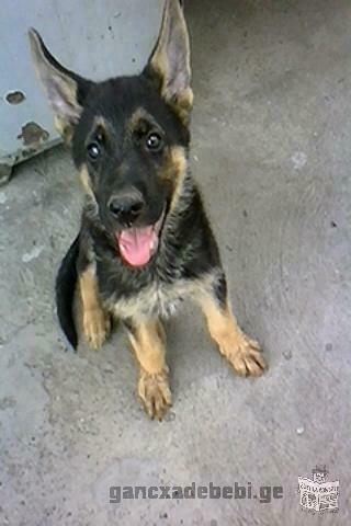 German shepherd puppies for thoroughbred