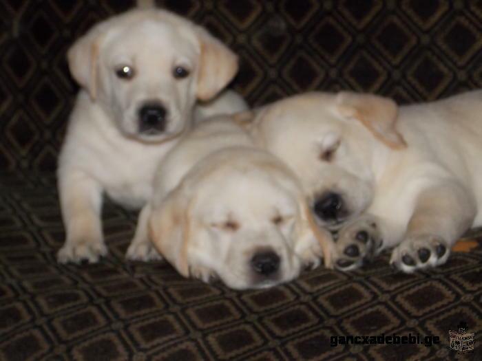 Labrador puppies for sale in retriveris