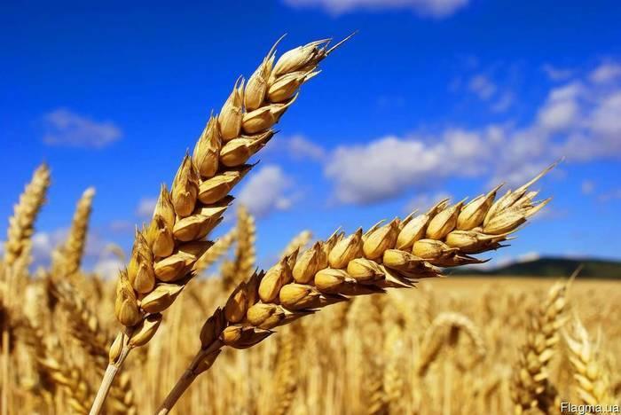 Wheat, corn, barley FOB, CIF Black Sea