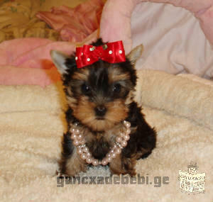 female tea cup yorkie puppy