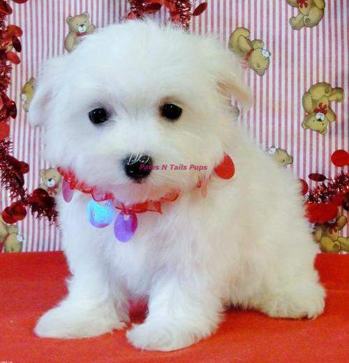 well trained Maltese puppies for sale
