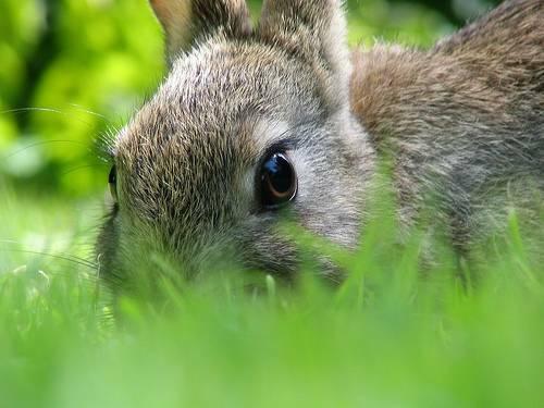 Belle Rabbit
