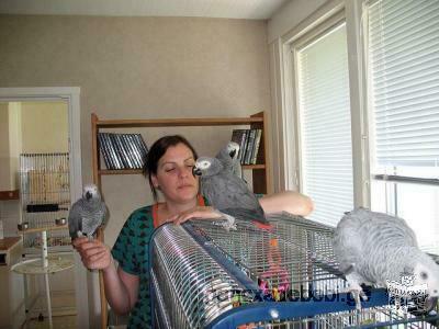 Parler des perroquets gris africains
