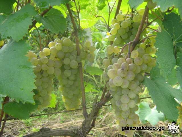 naturelle du vin Kakhetian