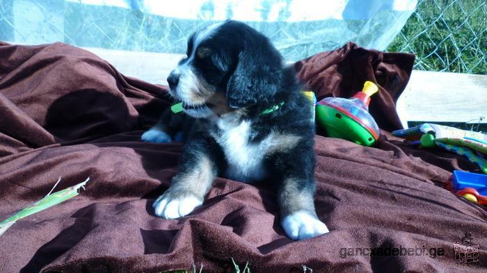 ბერნის მთის ძაღლის პერსპექტიული ლეკვები გამოფენებსა და მეცხოველეობაზე