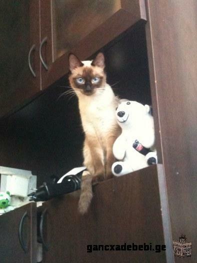გავაჩუქებ 2 სიამის კატას!
