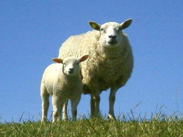 გაყიდოს ზე მეტი 1,000 ცხვარი