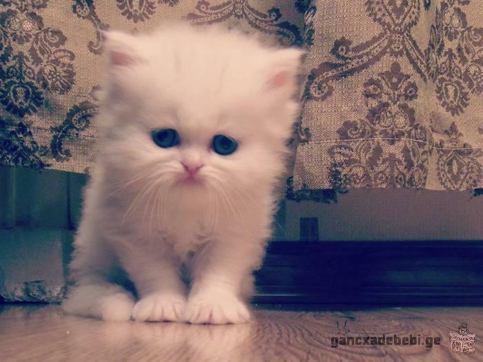 სპარსული კნუტები