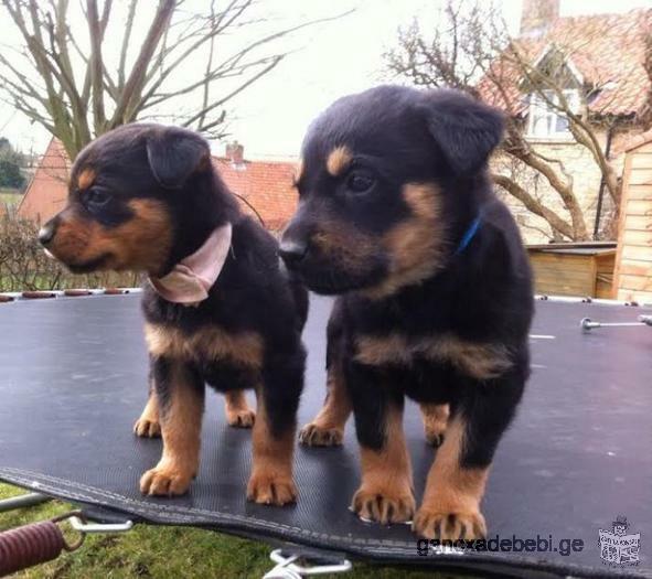 Rottweiler puppies უფასო მიღება