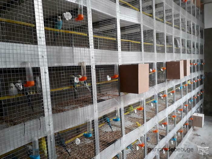Армения продаю волнистый попугай