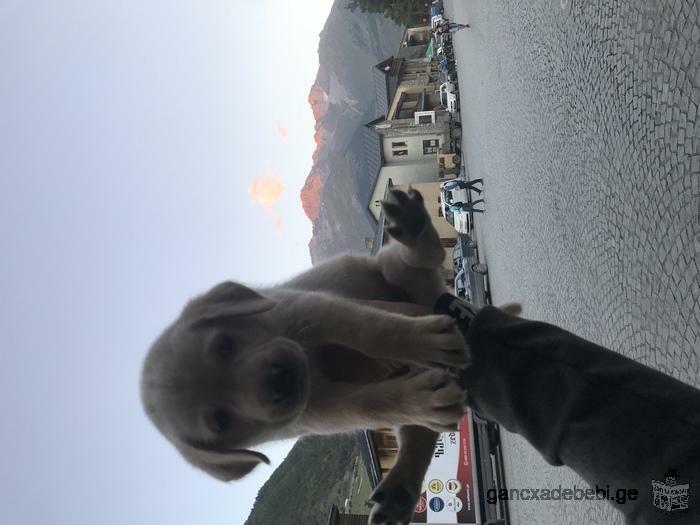 Продаю щенка чистокровного лабрадора